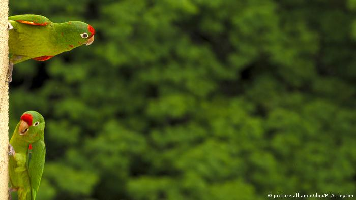 Parrots in Costa Rica (picture-alliance/dpa/P. A. Leyton)