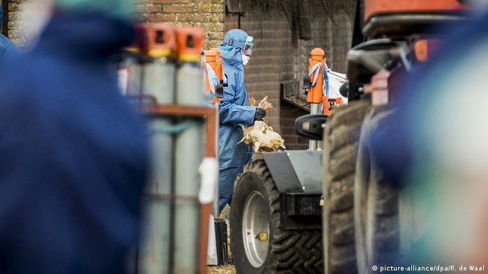 Niederlande Entenfarm Vogelgrippe Keulung (picture-alliance/dpa/R. de Waal)