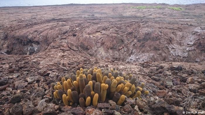 Galapagos lava cactus (DW/M. Marek)