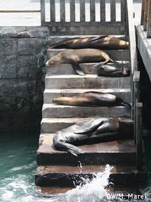 Galapagos sea lions sunbathing