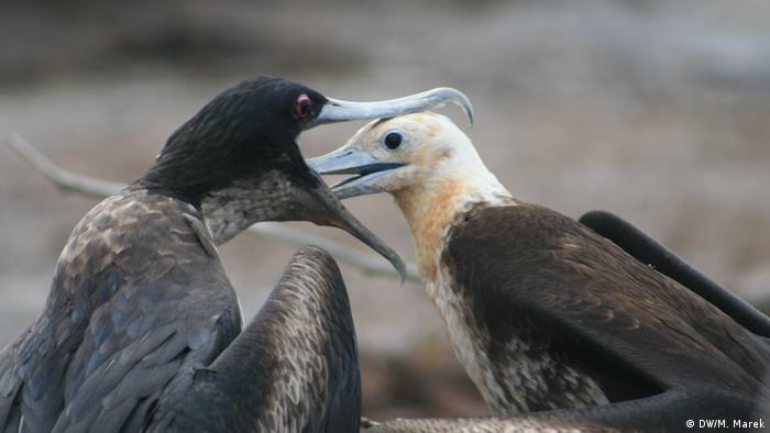 Galapagos Fregattvogelweibchen (DW/M. Marek)