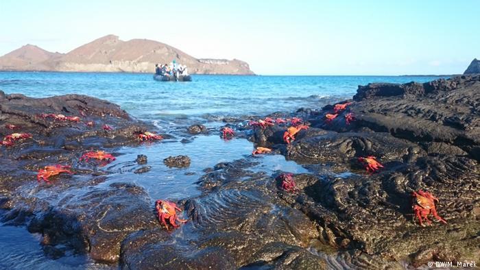 Galapagos Klippenkrabbe (DW/M. Marek)