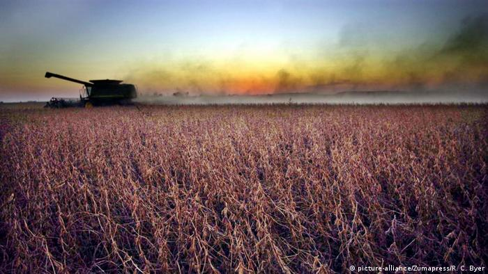 A soy field at sunset