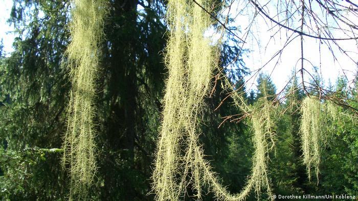 Usnea longissima (Dorothee Killmann/Uni Koblenz)
