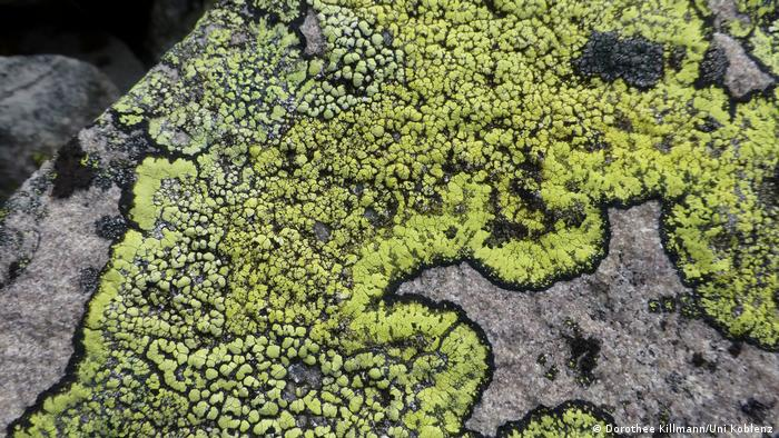 Linchen Rhizocarpon geographicum (Dorothee Killmann/Uni Koblenz)