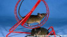 Säugetiere/Nagetiere Hausmaus Mus musculus house mouse 03 grau in und unter Spielzeug Laufrad house mouse 03 with toy running wheel Nagetiere Rodentia Maus Mäuse Haustier Haustiere rodents mouse mice pet pets