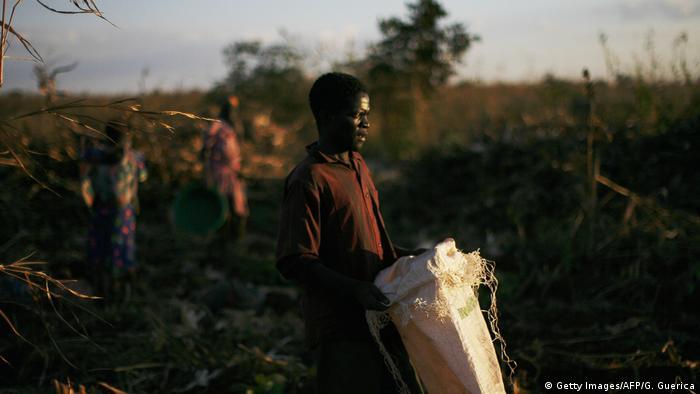 A Malawian farm worker in a maize field