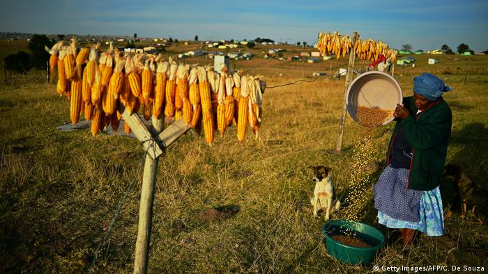 A South African maize farm (Getty Images/AFP/C. De Souza)