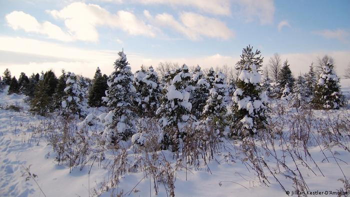 christmas trees lining the property at the horton tree farm in southern ontario jillian kestler - How Long Do Real Christmas Trees Last