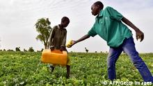 This photo taken on June 20, 2016 shows young Nigeriens picking melons in a field by the River Yobe, known locally as the Komadougou, near Diffa. After the region's governor forbid access to farmable areas, evacuated all populations of islands in Lake Chad (25,000, part of which took refuge in Diffa), suspended trade of the main local wealth and instituted a night curfew following constant attacks by Boko Haram fighters, most farmers have now turned into displaced people depending on international aid. / AFP / ISSOUF SANOGO (Photo credit should read ISSOUF SANOGO/AFP/Getty Images)