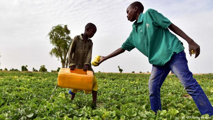 Two young boys pick melons in a field. One holdsa plastic container which the other fills up with produce.