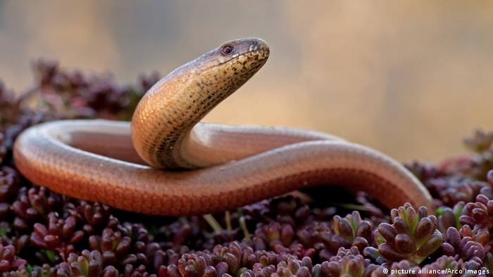 Anguis fragilis Blindschleiche (picture alliance/Arco Images)