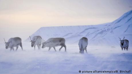Ενώ τα άλογα σε θερμοκρασίες 50 βαθμών υπό το μηδέν θα πάγωναν αμέσως, οι τάρανδοι τις αντέχουν μια χαρά. Άλλωστε δεν έχουν άλλη επιλογή, αφού ζουν σε μέρη όπως η βόρεια Αμερική, η Σκανδιναβία και η Σιβηρία. Από το κρύο τους προστατεύει το πυκνό τους τρίχωμα.