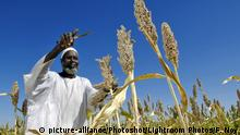 Sudan Bauer mit Mohrenhirse in Bulbul Dalal Angara, Nyala, Süd-Darfur A farmer is harvesting sorghum plants from seeds donated by the FAO (Food & Agriculture Organization) in Bulbul Dalal Angara region of Nyala, Southern Darfur, 1980 km west of Khartoum. British sci