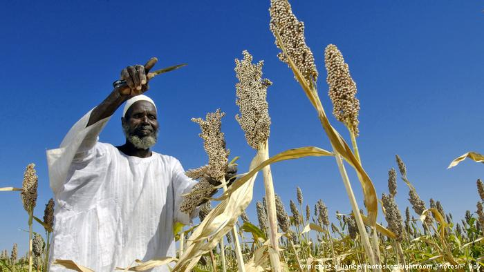 A farmer in Sudan tending to his sorghum plants