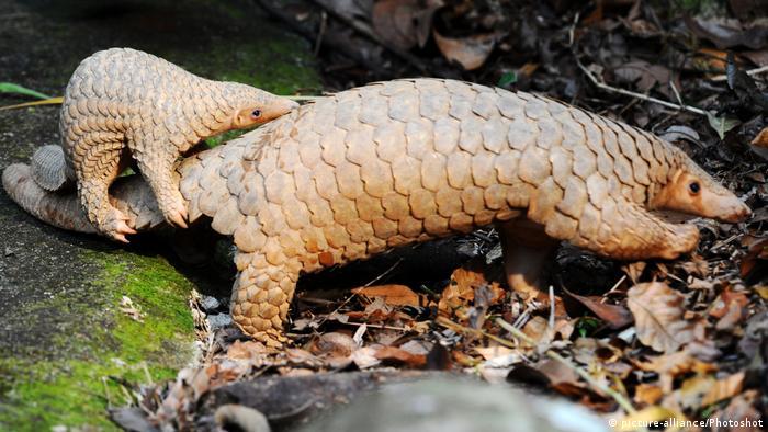 Schuppentier - Manidae (picture-alliance/Photoshot)