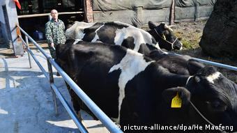 China 'Dr Cattlemans' Riesenkühe (picture-alliance/dpa/He Maofeng)