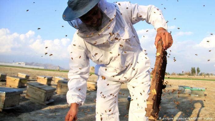 Afghansistan Bienenzucht und Honigproduktion (picture alliance/dpa/EPA/G. Habibi)