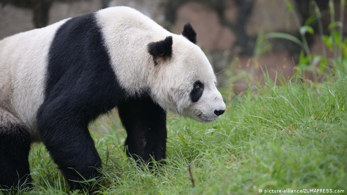 China Pan Pan Panda ist gestorben (picture-alliance/ZUMAPRESS.com)