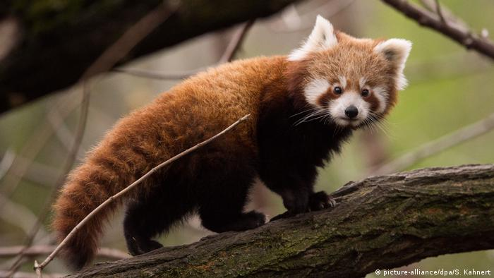A baby red panda walking on a branch