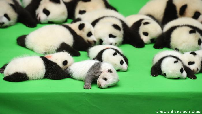 China Baby Panda im Chengdu Research Base (picture-alliance/dpa/S. Zhang)