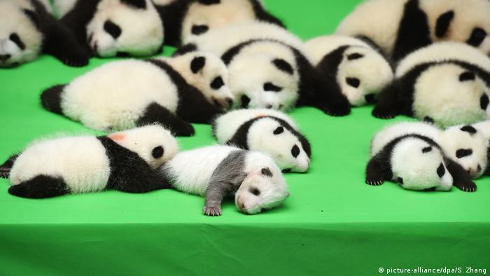 Bebês pandas na base de pesquisas Chengdu, na China