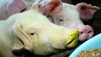 Ein grünes Schwein neben 'normalen' Schweinen (Foto: AP)