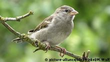 Haussperling, Haus-Sperling, Hausspatz, Haus-Spatz, Spatz, Passer domesticus, house sparrow (picture-alliance/blickwinkel/M. Wulf)