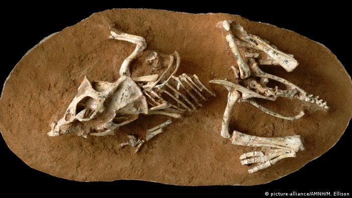 Fossilien Dinosaurier brüteten lange (picture-alliance/AMNH/M. Ellison)