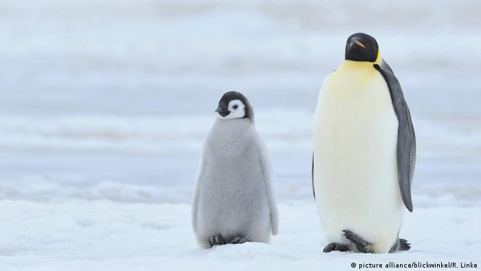 Pinguine - Kaiserpinguin (picture alliance/blickwinkel/R. Linke)