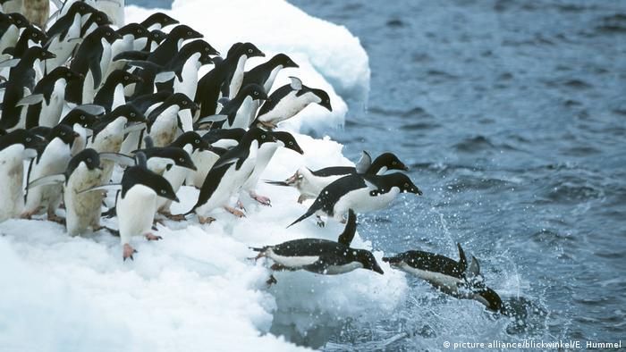Adélie penguins. Photo credit: picture alliance/blickwinkel/E. Hummel.