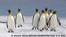 Pinguine - Königspinguin