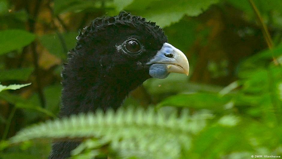 Sobre el pavón colombiano y su conservación