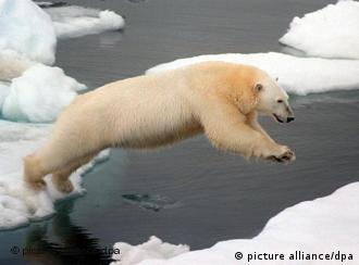 A polar bear leaping from one ice floe to another