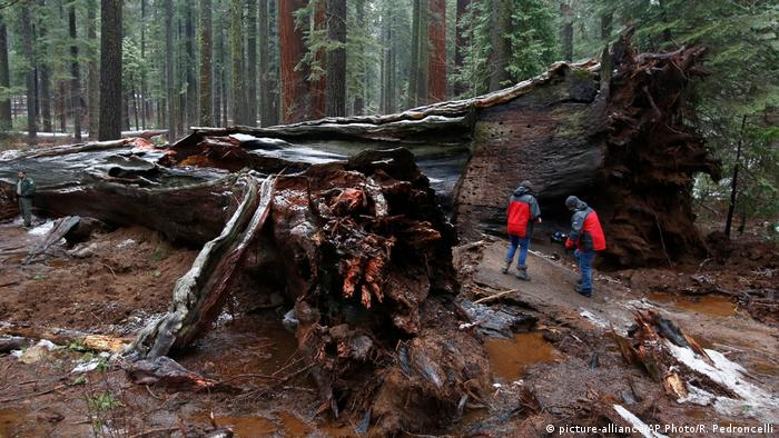 A television news crew views the fallen Pioneer Cabin Tree at Calaveras Big Trees State Park (picture-alliance/AP Photo/R. Pedroncelli)