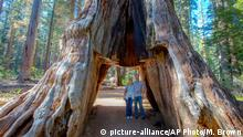 USA Pioneer Cabin Tree in Kalifornien