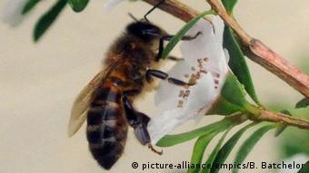 Τα νεονικοτινοειδή ύποπτα ότι βλάπτουν τις μέλισσες