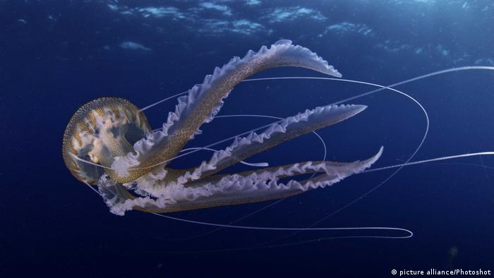 Qualle - Pelagia noctiluca (picture alliance/Photoshot)