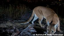 mountain lion at night