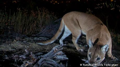 A female mountain lion roams above the crowded Los Angeles basin