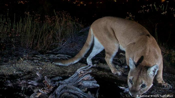 mountain lion at night (National Wildlife Federation )
