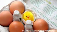 Eier mit Küken in Eierkarton