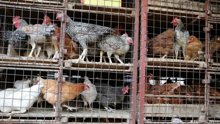 Chicken inside pens