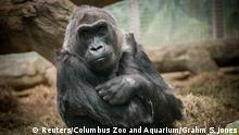 USA Gorilla Colo im Columbus Zoo Ohio