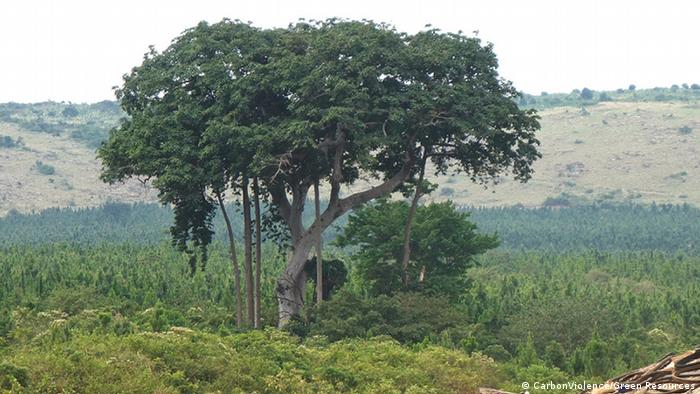 A sacred tree growing near plantation pines