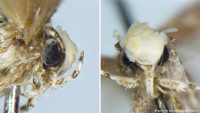 Two images side by side showing a close-up of a moth from the front and side. The moth has a mop of fur which resembles hair on its head.