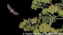 Mit freundlicher Genehmigung fur global ideas Artikel bat friendly tequila copyright: Tequila Interchange Project/David Suro Instituto de Ecología, UNAM, 2017 MEXICO,