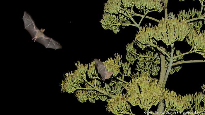 Los murciélagos magueyeros se alimentan del néctar de las plantas de agave.