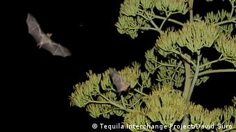 Tequila bats feed on the nectar of agave plants
