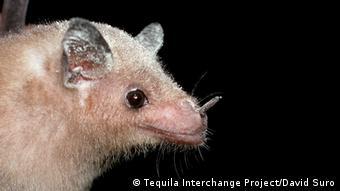 Un murciélago de la especie Leptonycteris curasoae, Callejones.